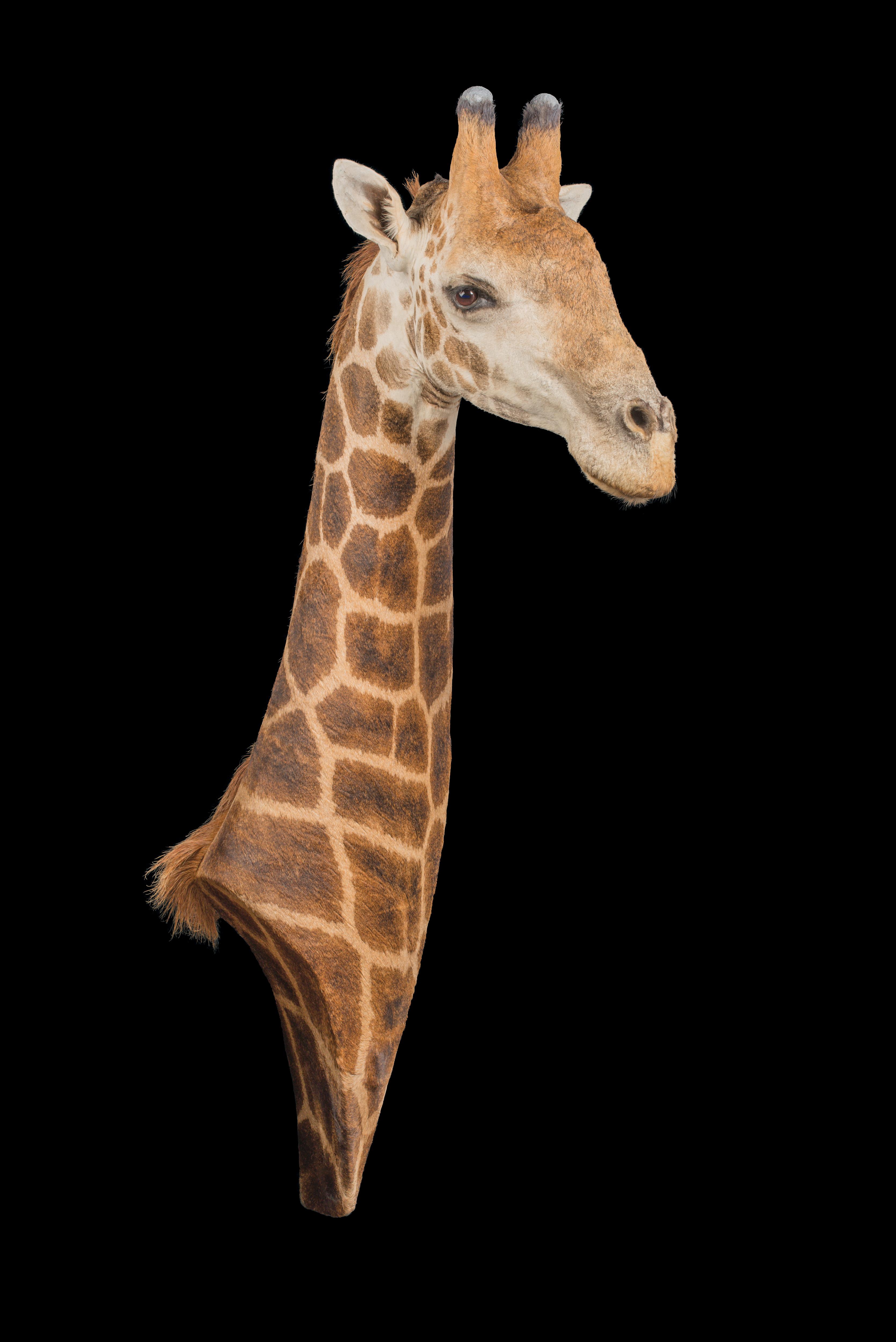 Giraffe Neckmount - dd 334.jpg