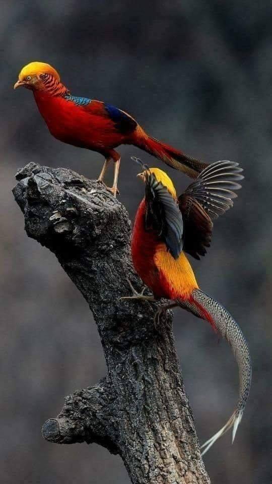Golden or Chinese Pheasant - 1.jpg