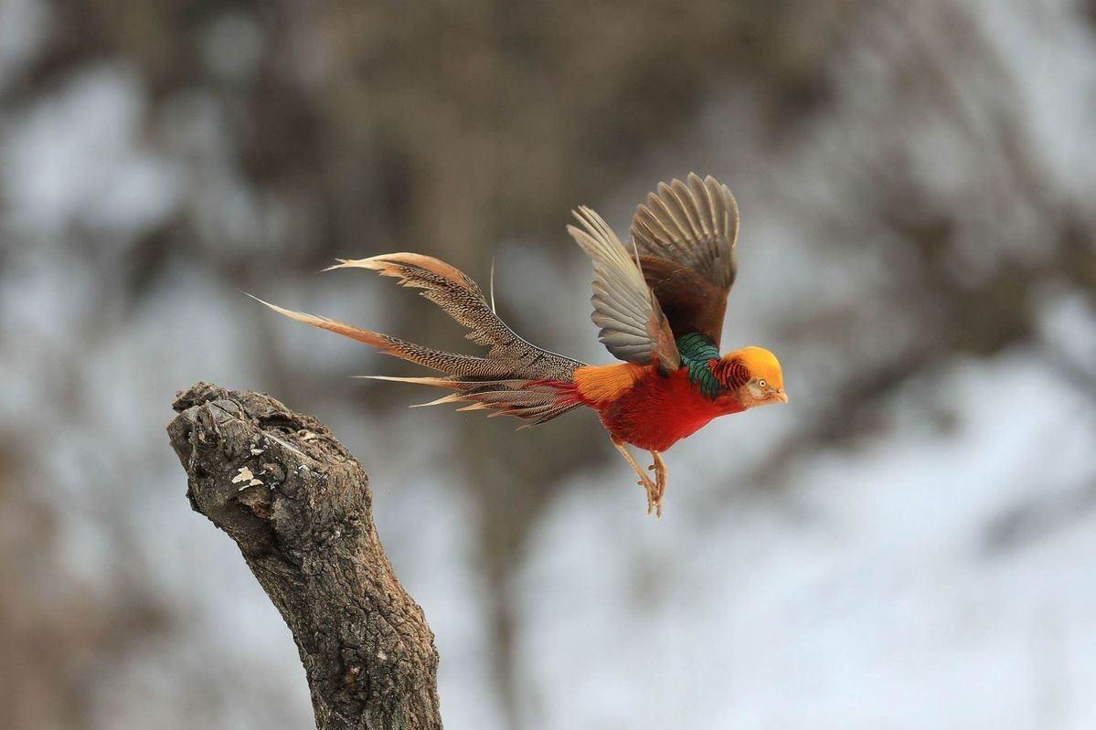 Golden or Chinese Pheasant - 4.jpg