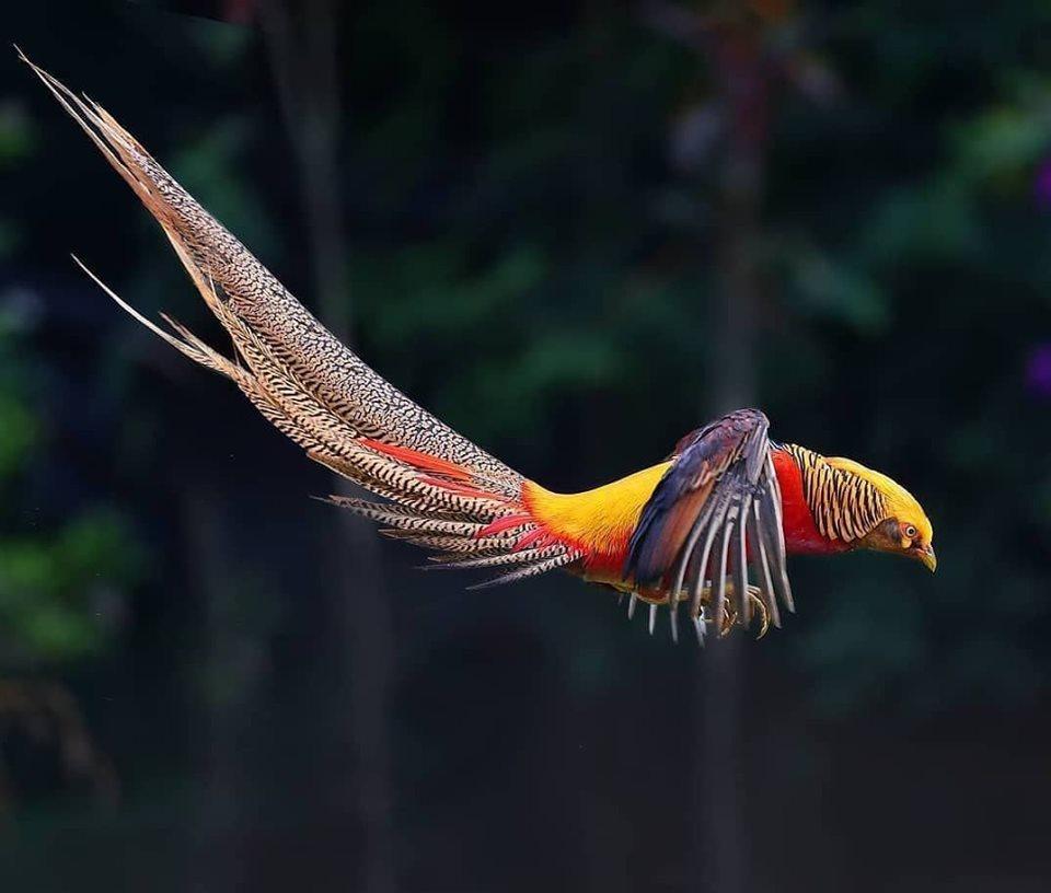 Golden or Chinese Pheasant.jpg