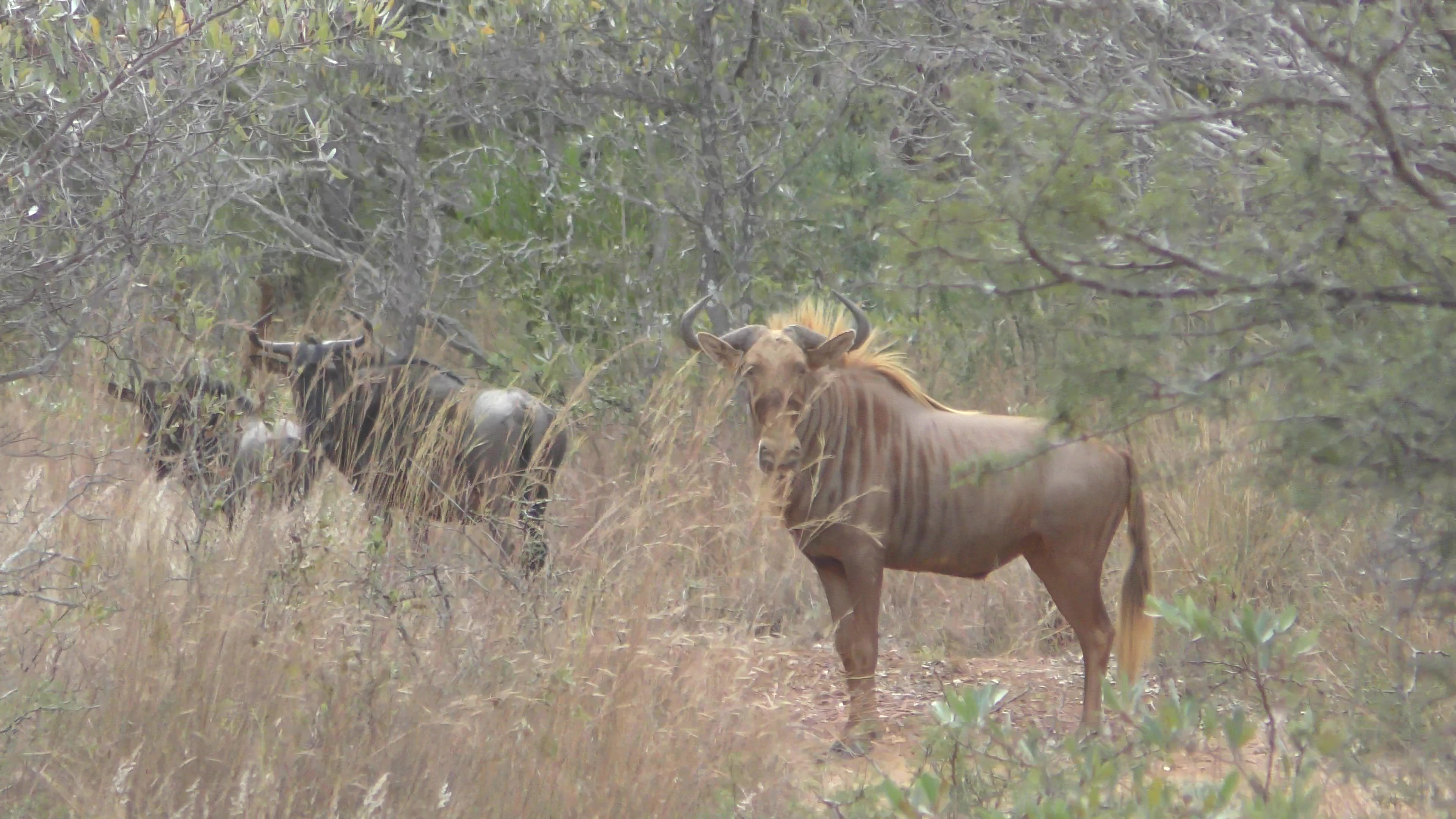 GOLDEN WILDEBEEST.jpg