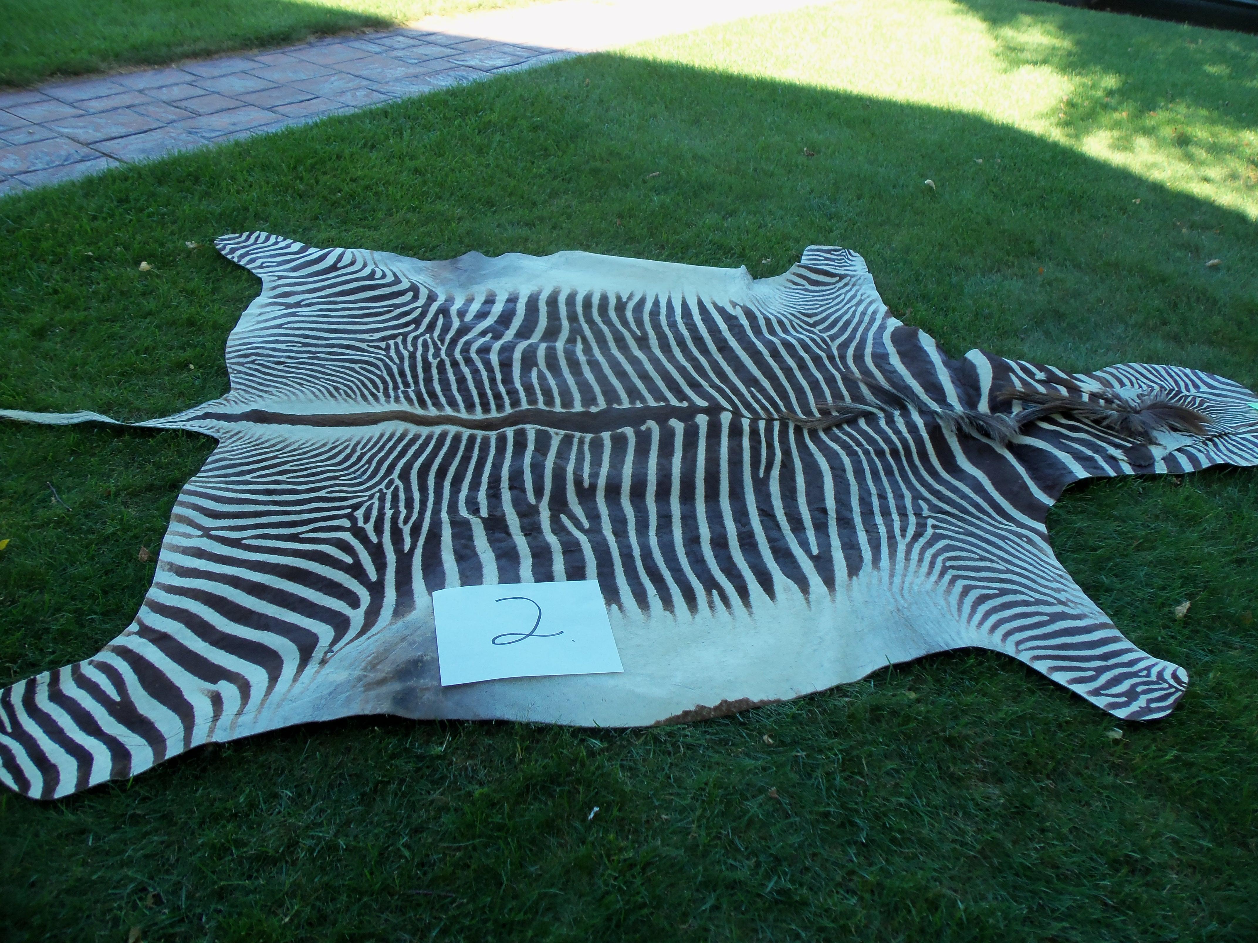 Grevy's Zebra skin 2 copy.JPG