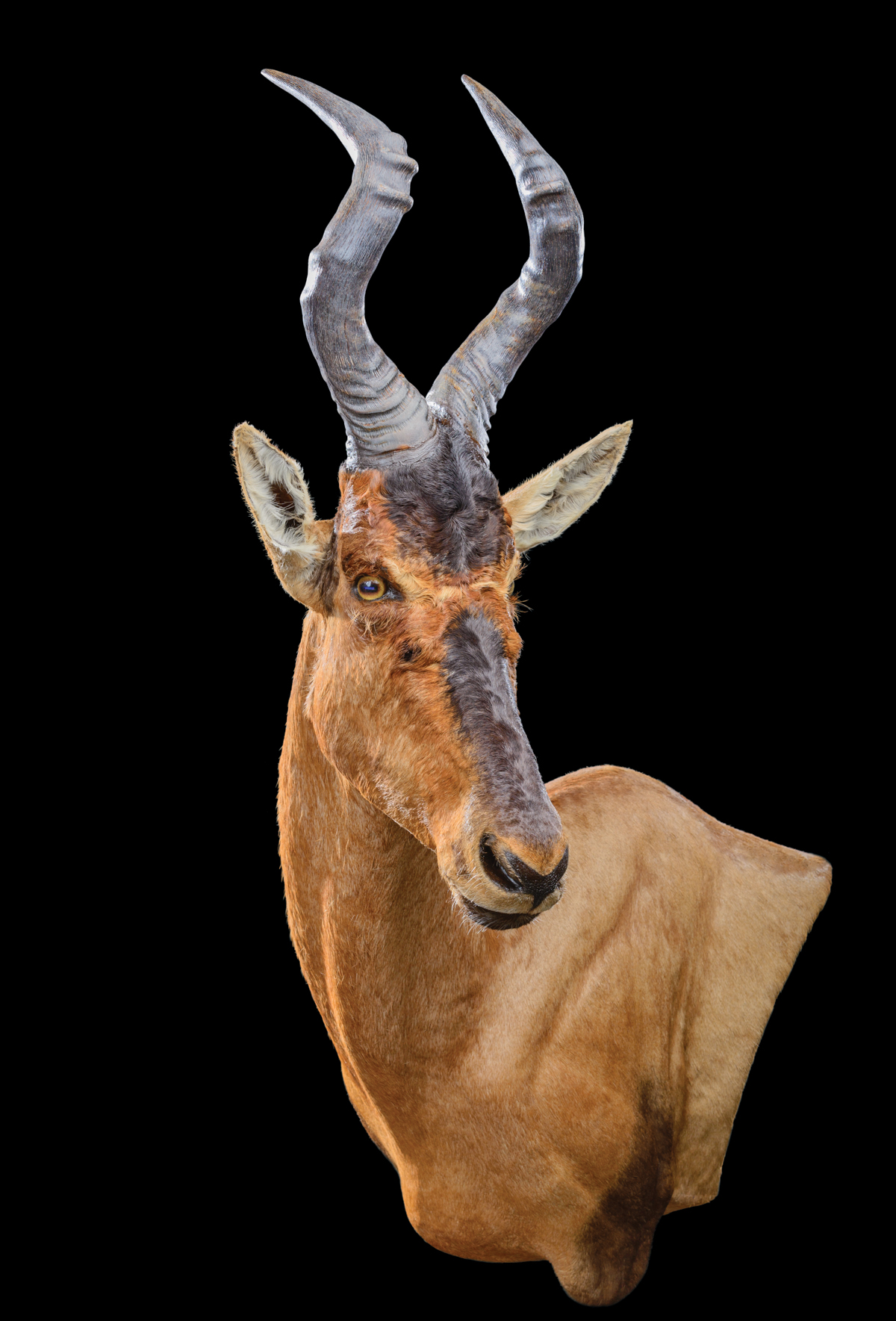 Hartebeest-Red-Wall-Ped-110°-LEFT-dd-276.jpg