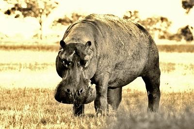 Hippo (13).JPG