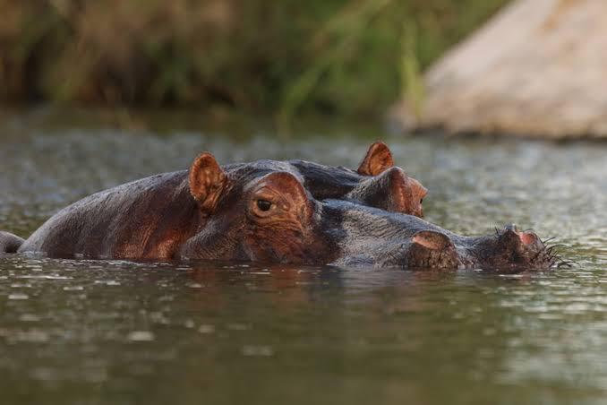 Hippo Hunt Moretla.JPG