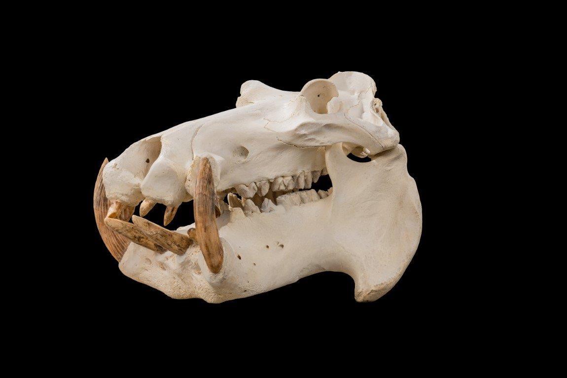Hippo Skull Bleach and Clean - GG164 (Medium).jpg