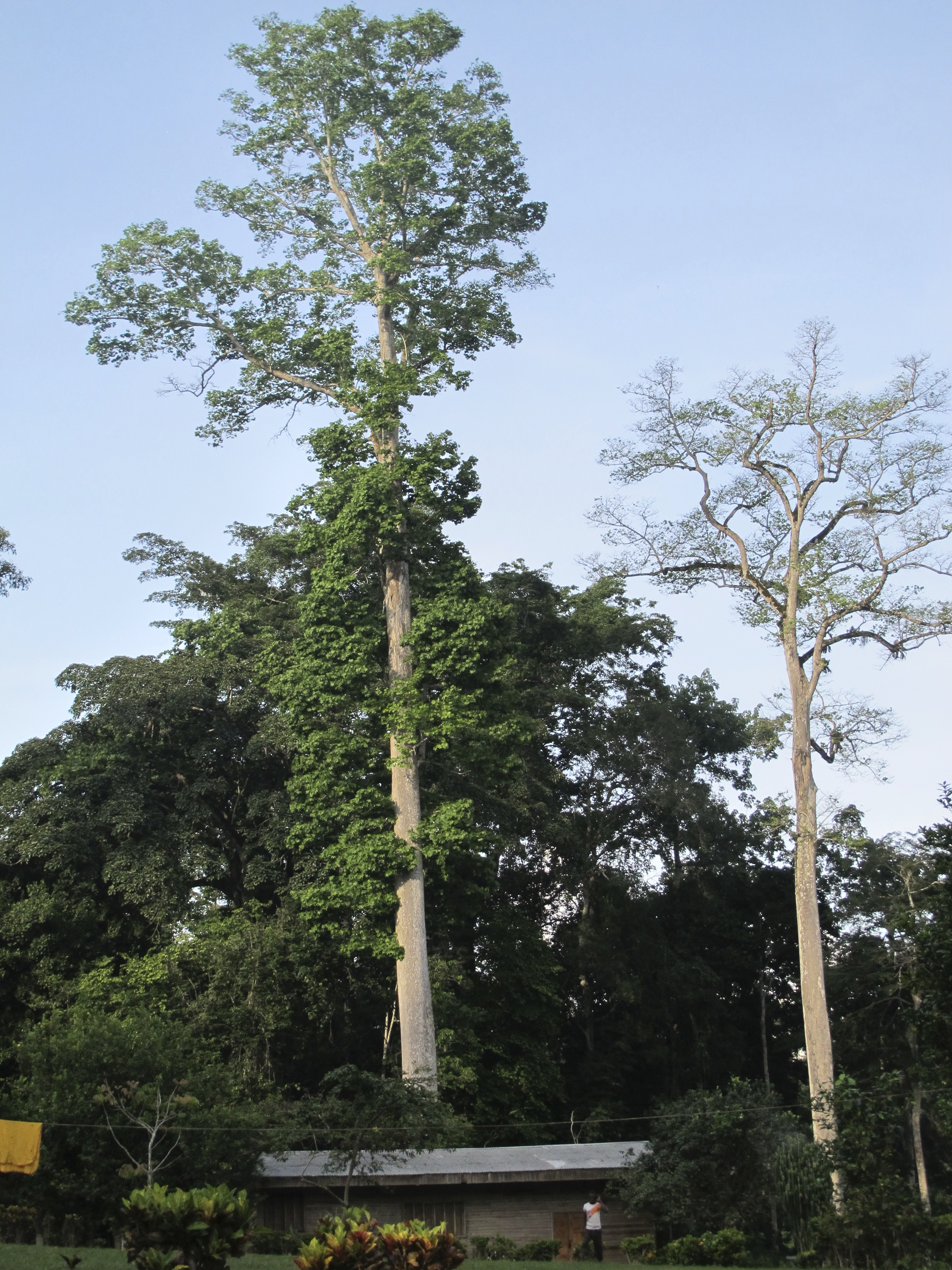 HSykes6.High Canopy Trees.jpg