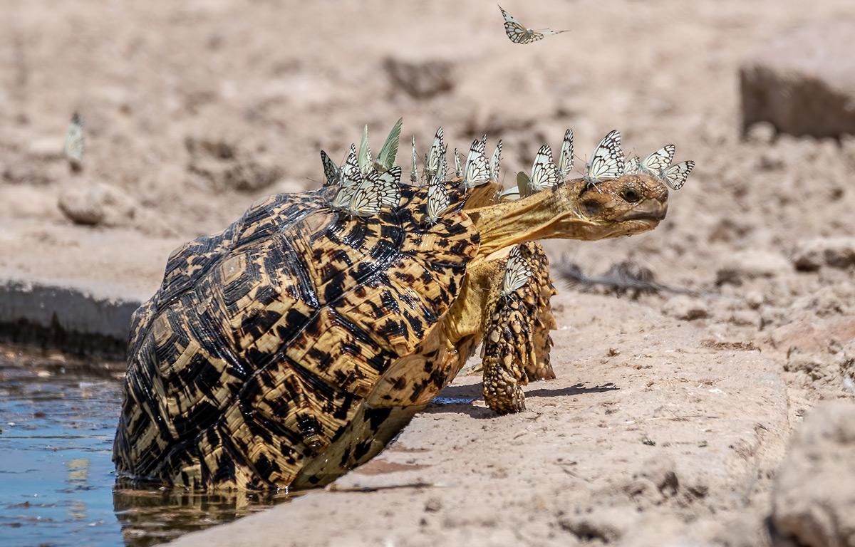 Hubert-Janiszewski-Leopard-tortoise-with-a-swarm-of-brown-veined-butterflies-Botswana-3.jpg