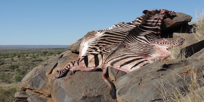 Hunt-namibia-zebra-skin.JPG