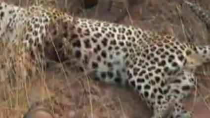 hunting-leopard-04.jpg