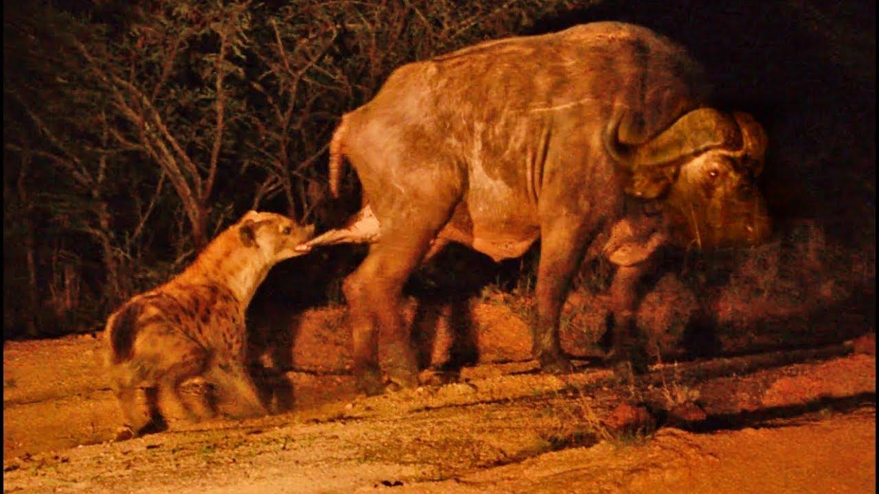 hyena-grabs-buffalo-balls.jpg