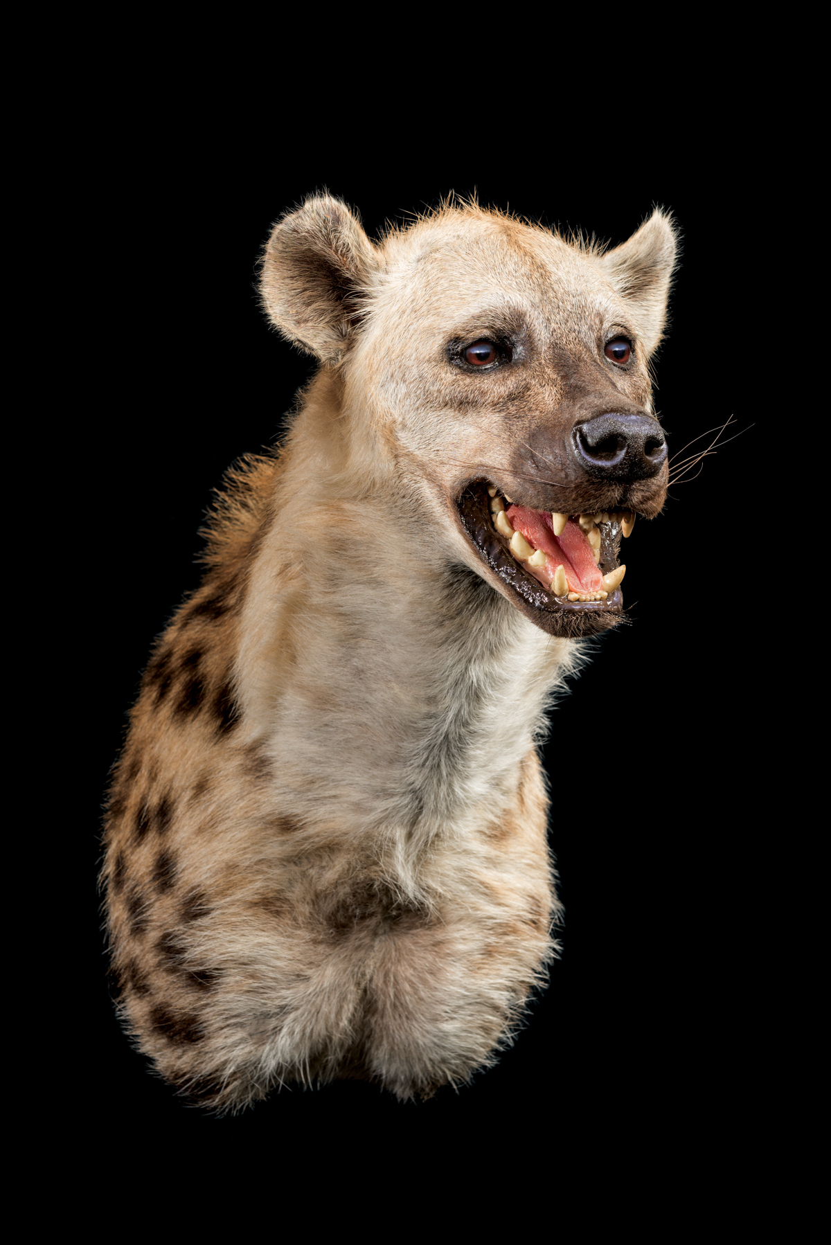 Hyena-Spotted-shouldermount-STRAIGHT-dd-215-1.jpg