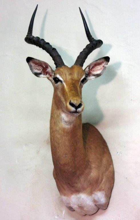 Impala(2).jpg