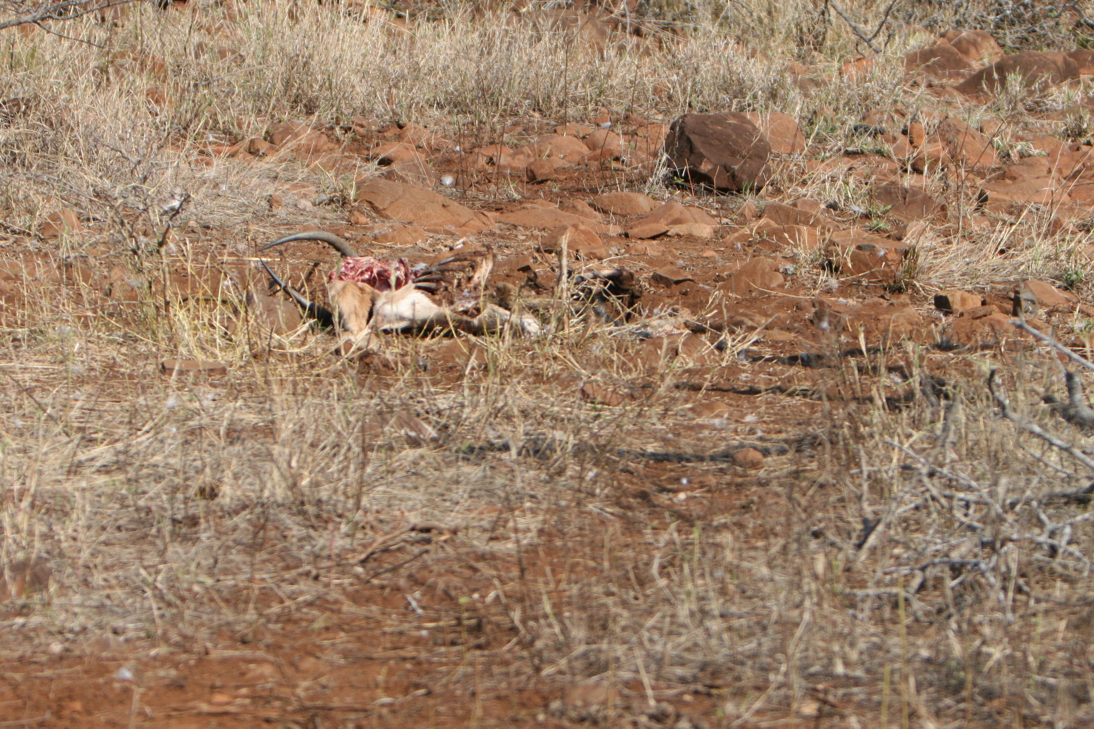 impala carcass.jpg