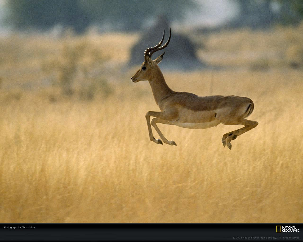 impala-wallpaper-5.jpg