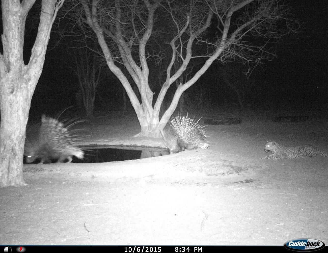 Ironpig-leopard.jpg