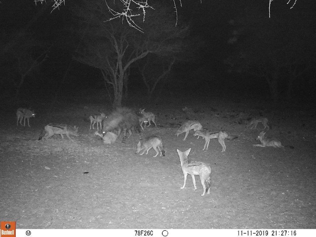 jackals.hyena.jpg