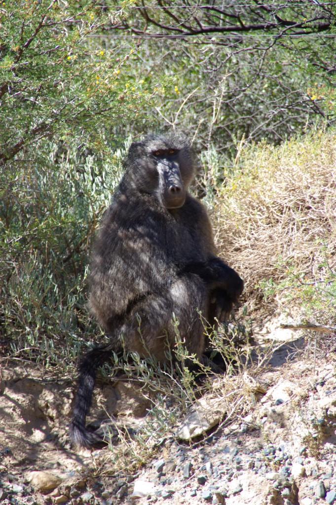Jaeger-Namibia-baboon-681x1024.jpg