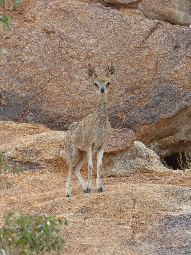 Jaeger-Namibia-klippspringer-female-2-e1481291702716-768x1024.jpg