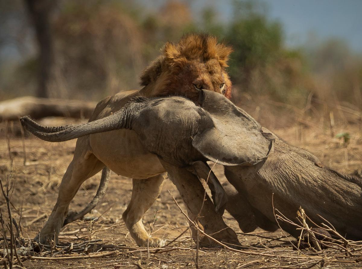 Jens-Cullmann-Lion-with-elephant-calf-Mana-Pools-2.jpg