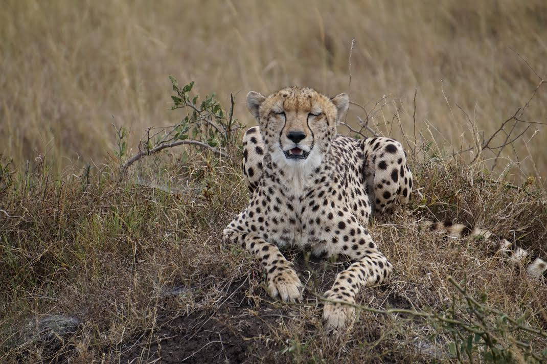 Kenya Cheetah resting before the hunt.jpg