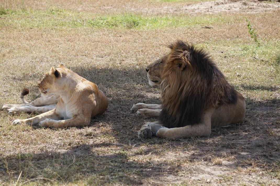 Kenya The King and his current queen.jpg