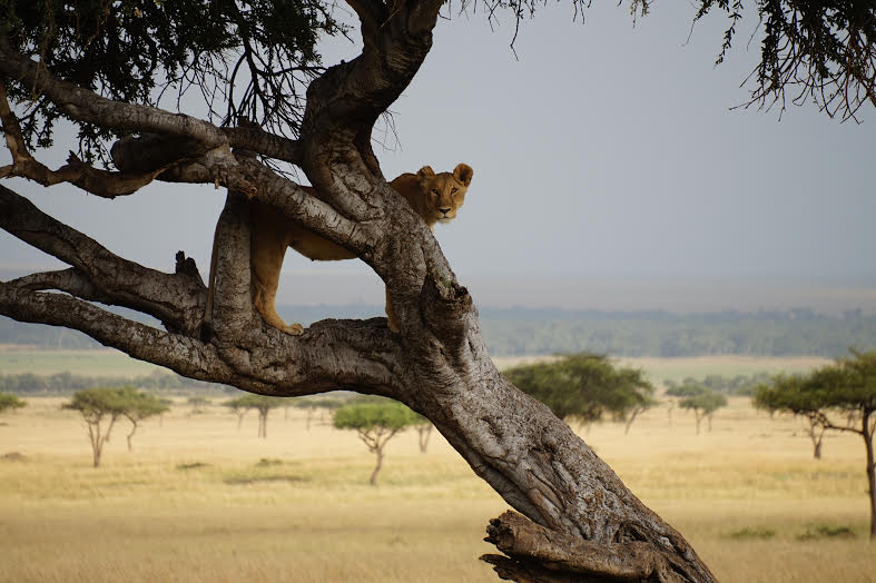 Kenya Tree lioness 2.jpg