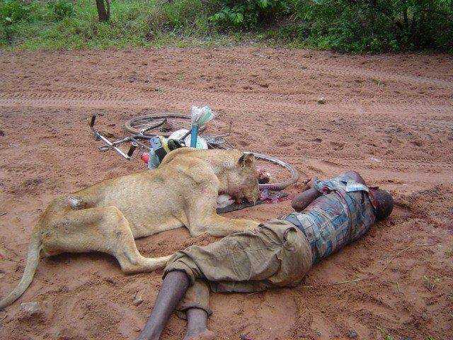 Kenyan man attacked and killed by the lioness laying dead next to him.jpg