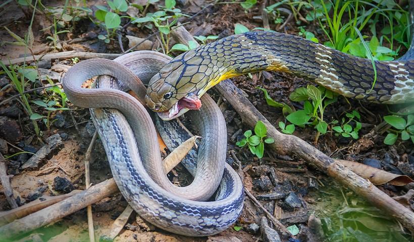 king-cobra-eating-pet-snake-thailand-820x481.jpg