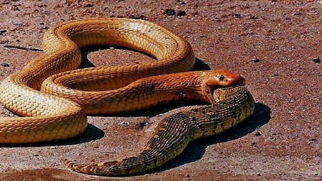 King-Cobra-eating-Snakes.jpg