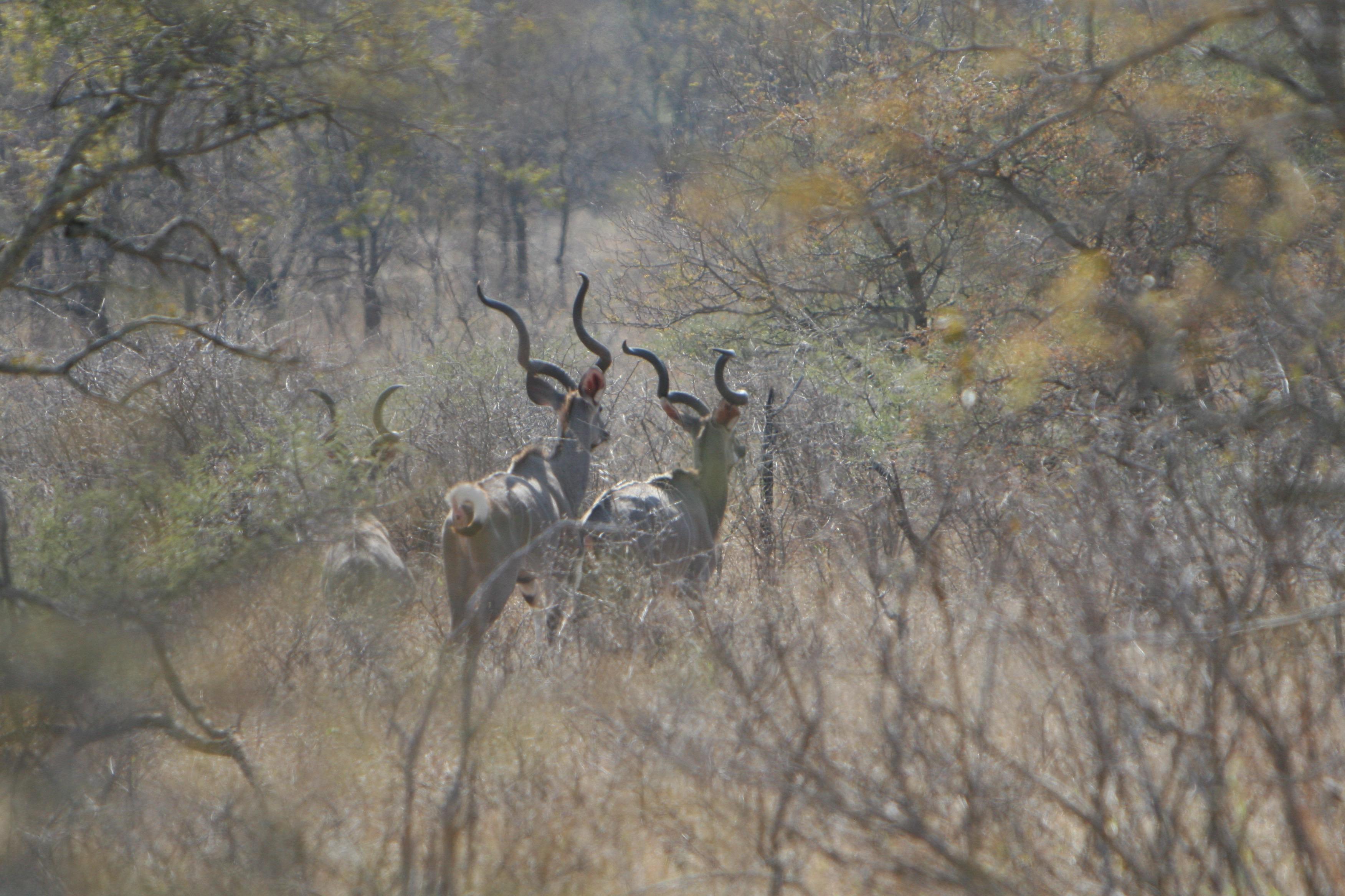 kudu bulls.jpg