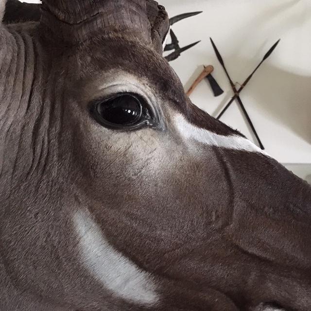 Kudu face .JPG