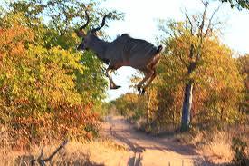 Kudu jumps farm road.jpg