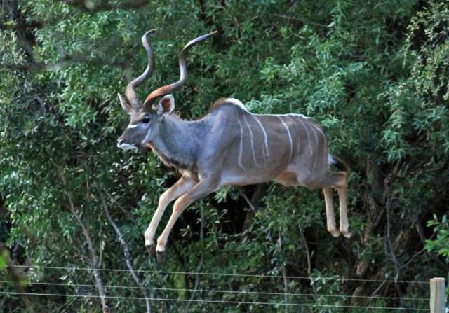 Kudu jumps fence.jpg