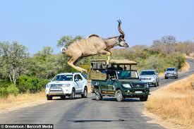 Kudu jumps road.jpg