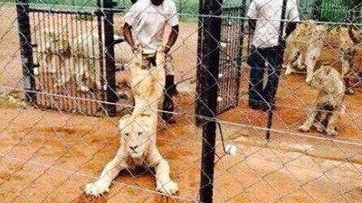 Löwenjagd in Südafrika.jpg