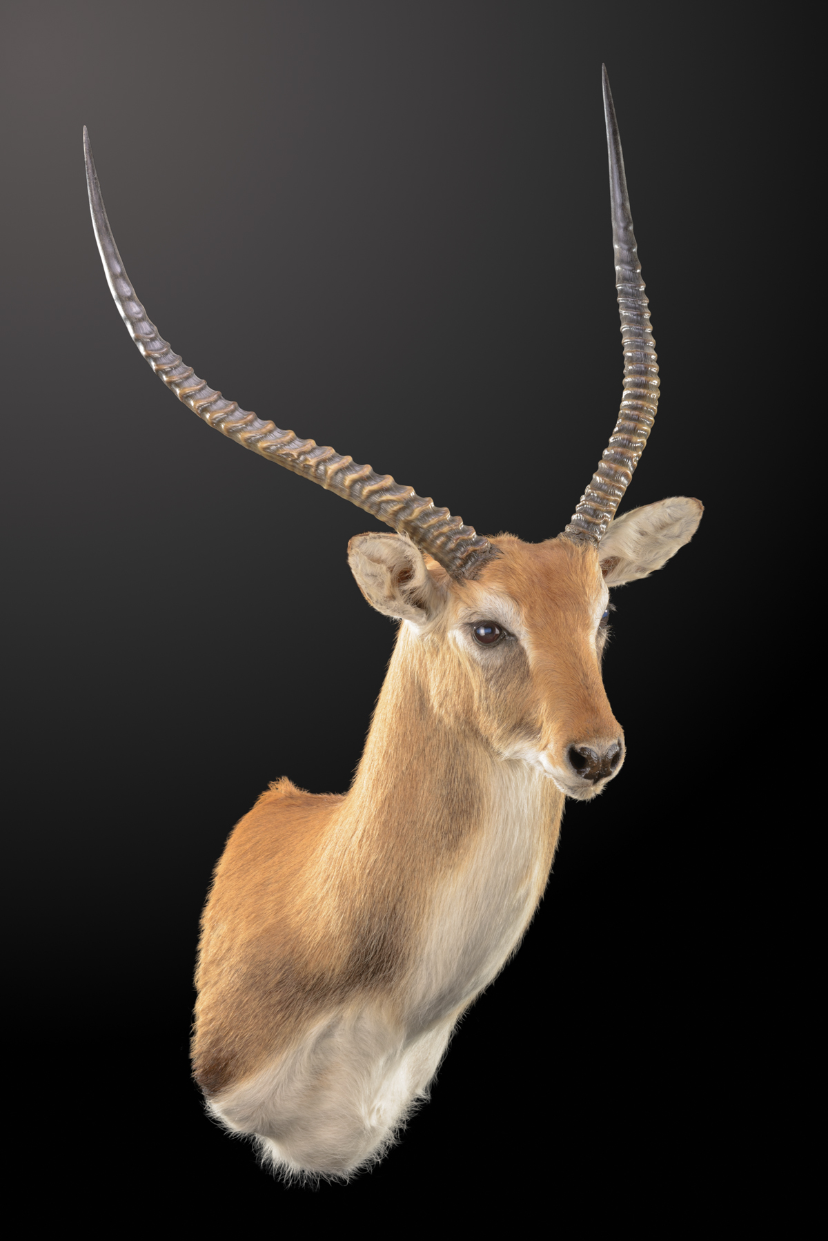 Lechwe-shoulder-mount-STRAIGHT-dd076.jpg