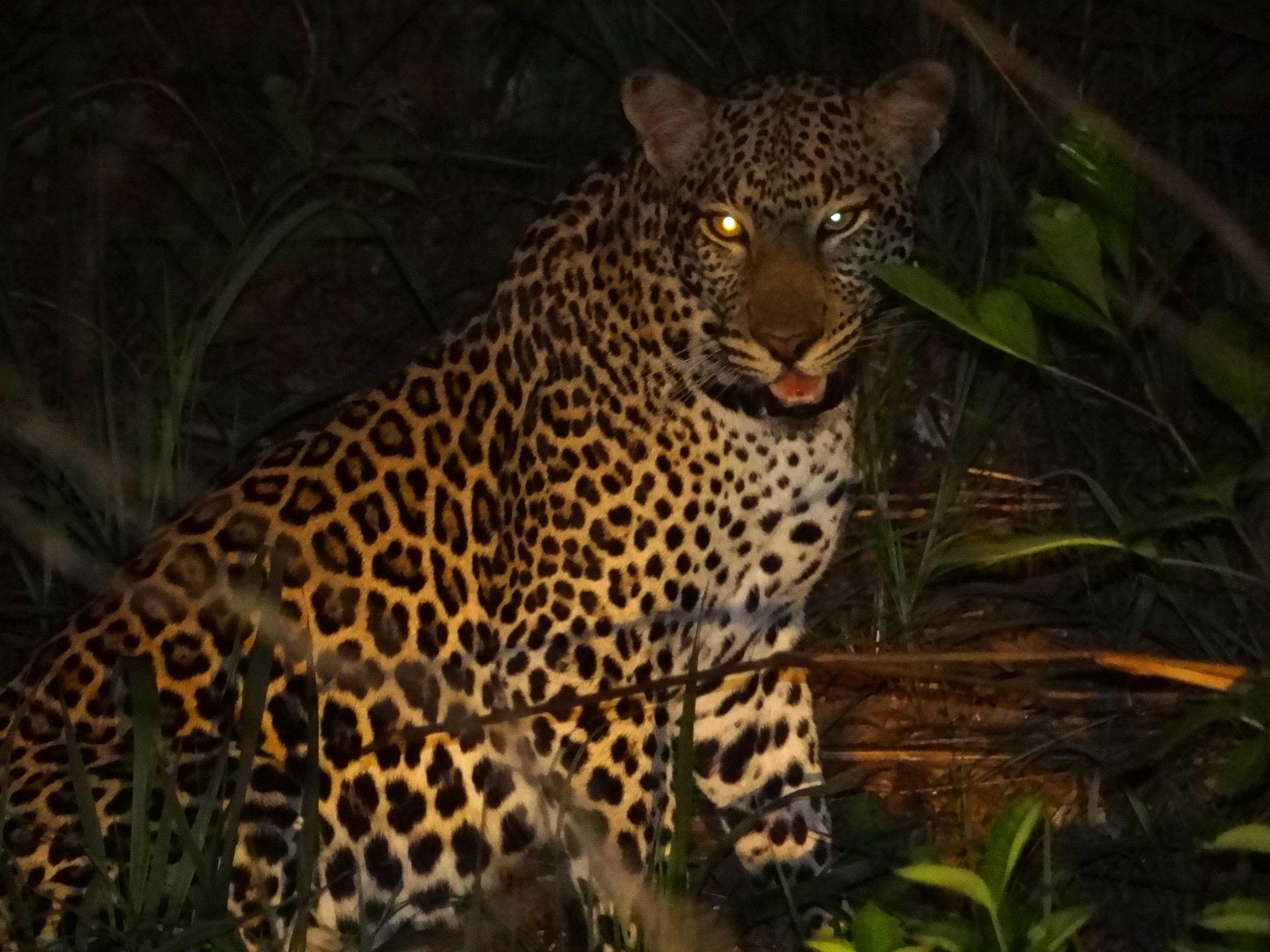 leopard (3).JPG