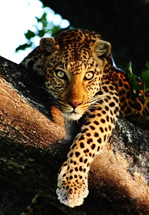 Leopard (41).JPG