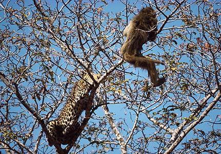leopard-baboon.jpg