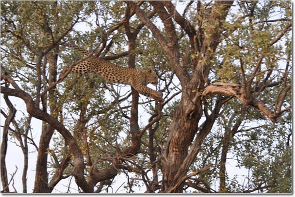 leopard chasing baboon.jpg