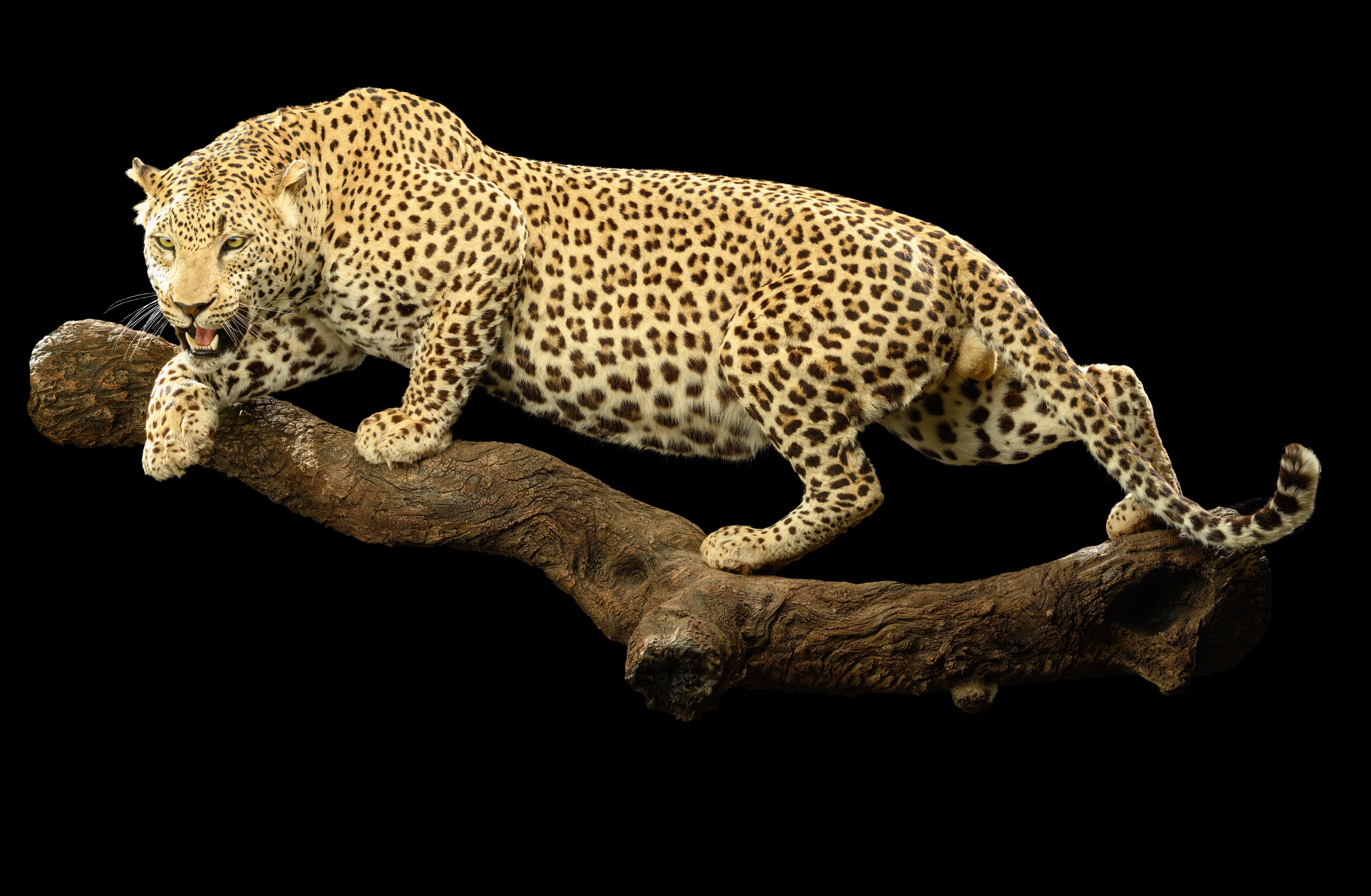leopard-fullmount-ii058-1-jpg.425649