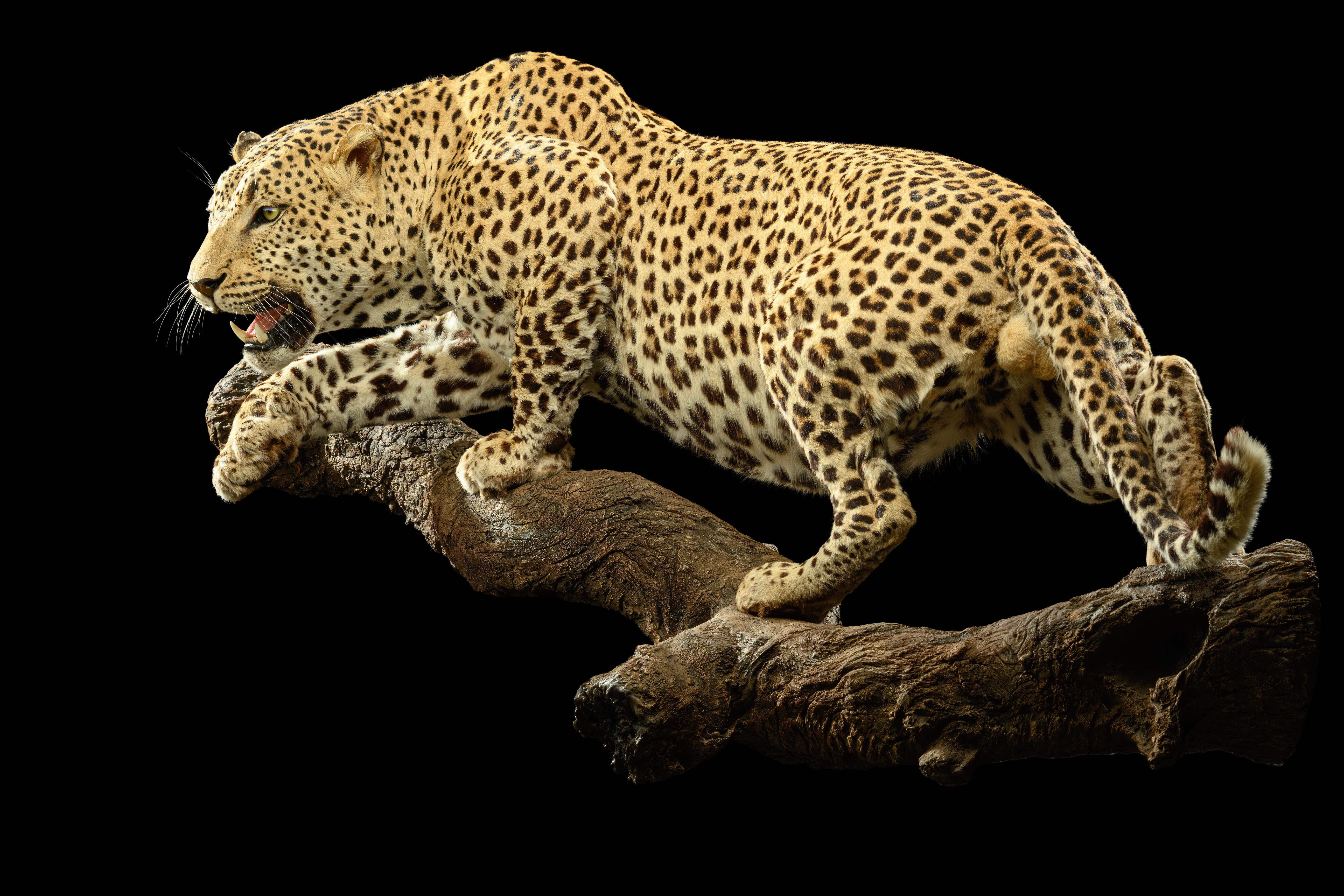 leopard-fullmount-ii059-1-jpg.425652