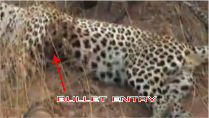leopard-hunting.jpg