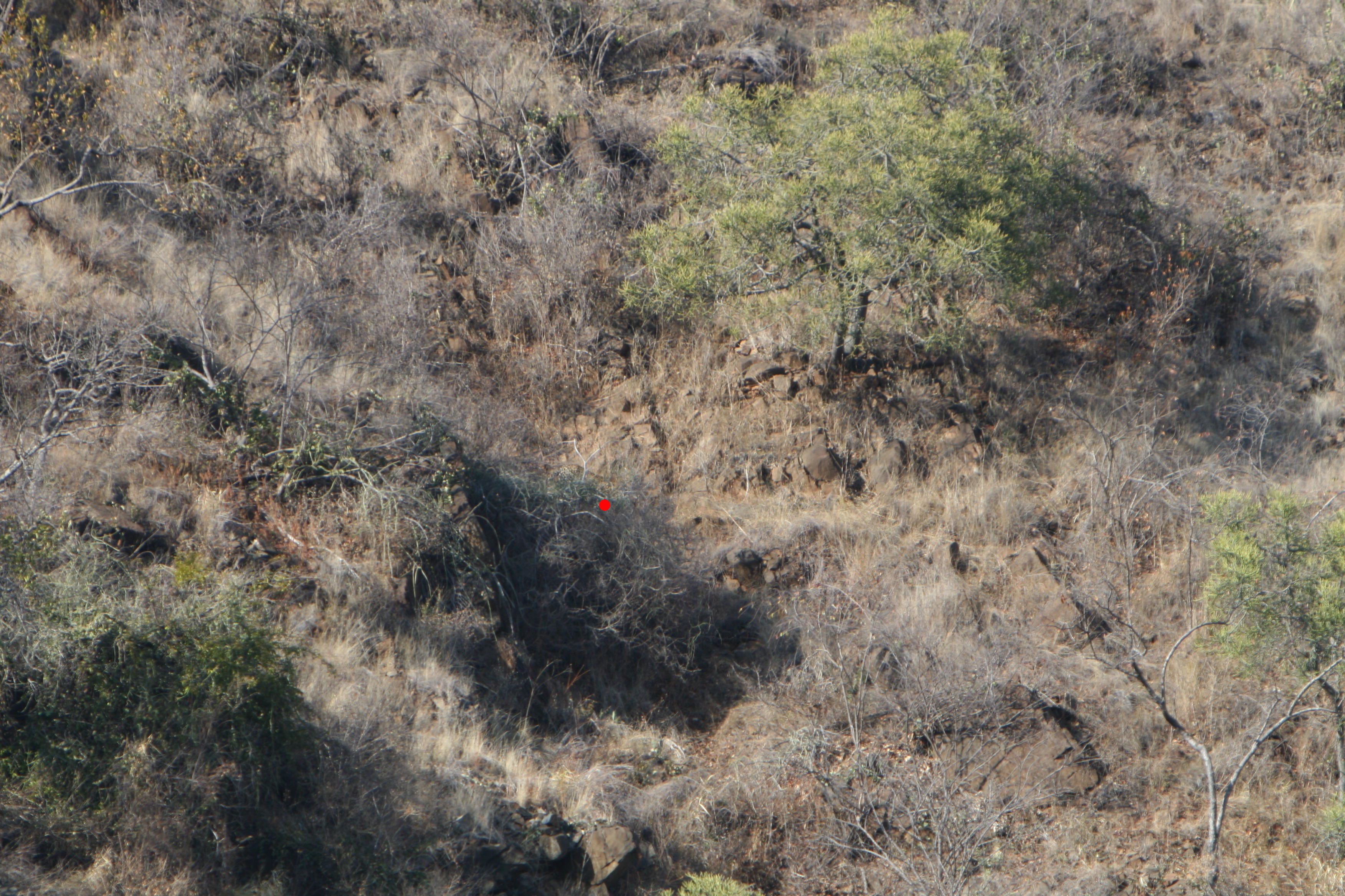 leopard in bush marked.jpg