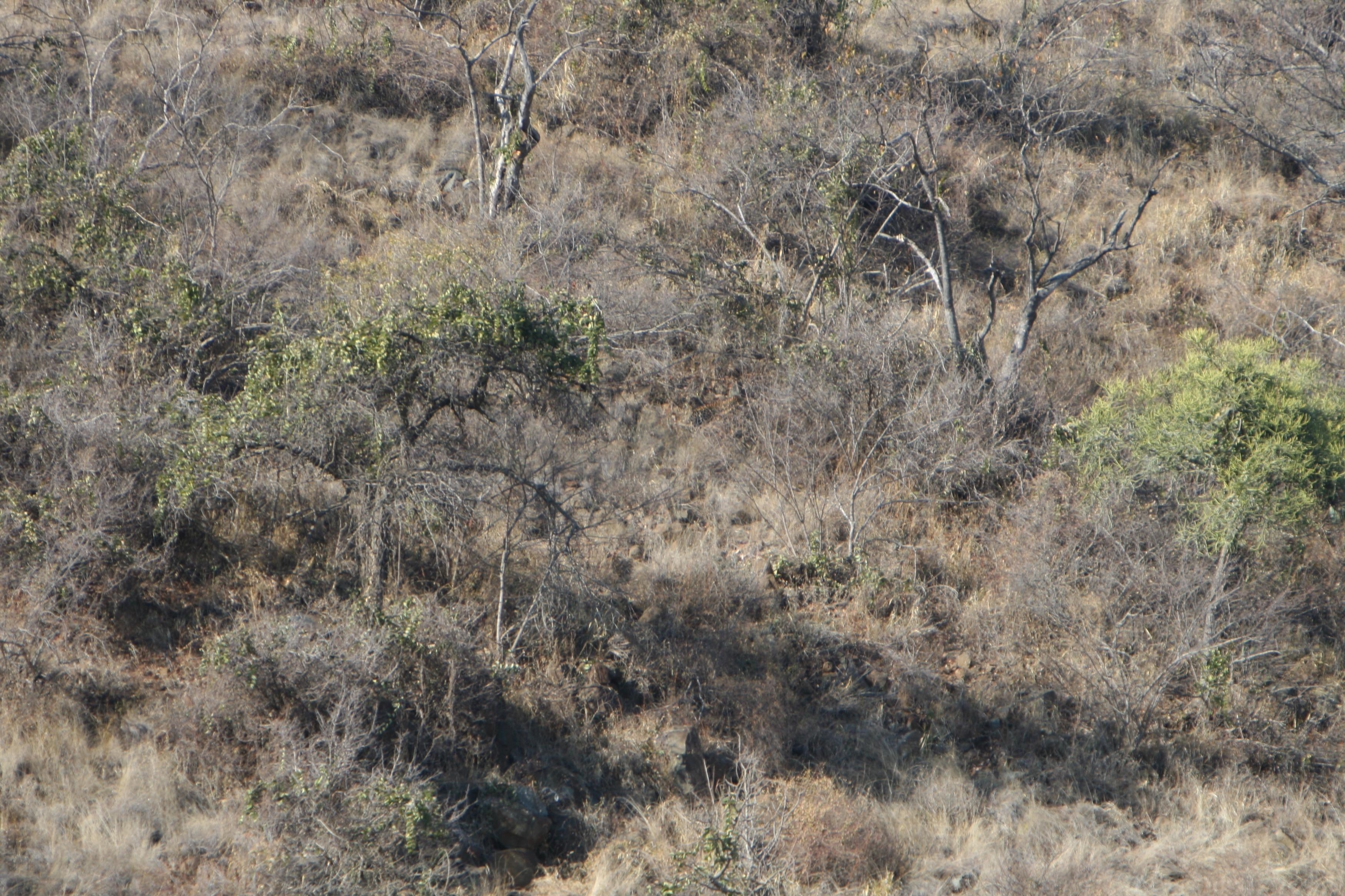 leopard in bush test.jpg