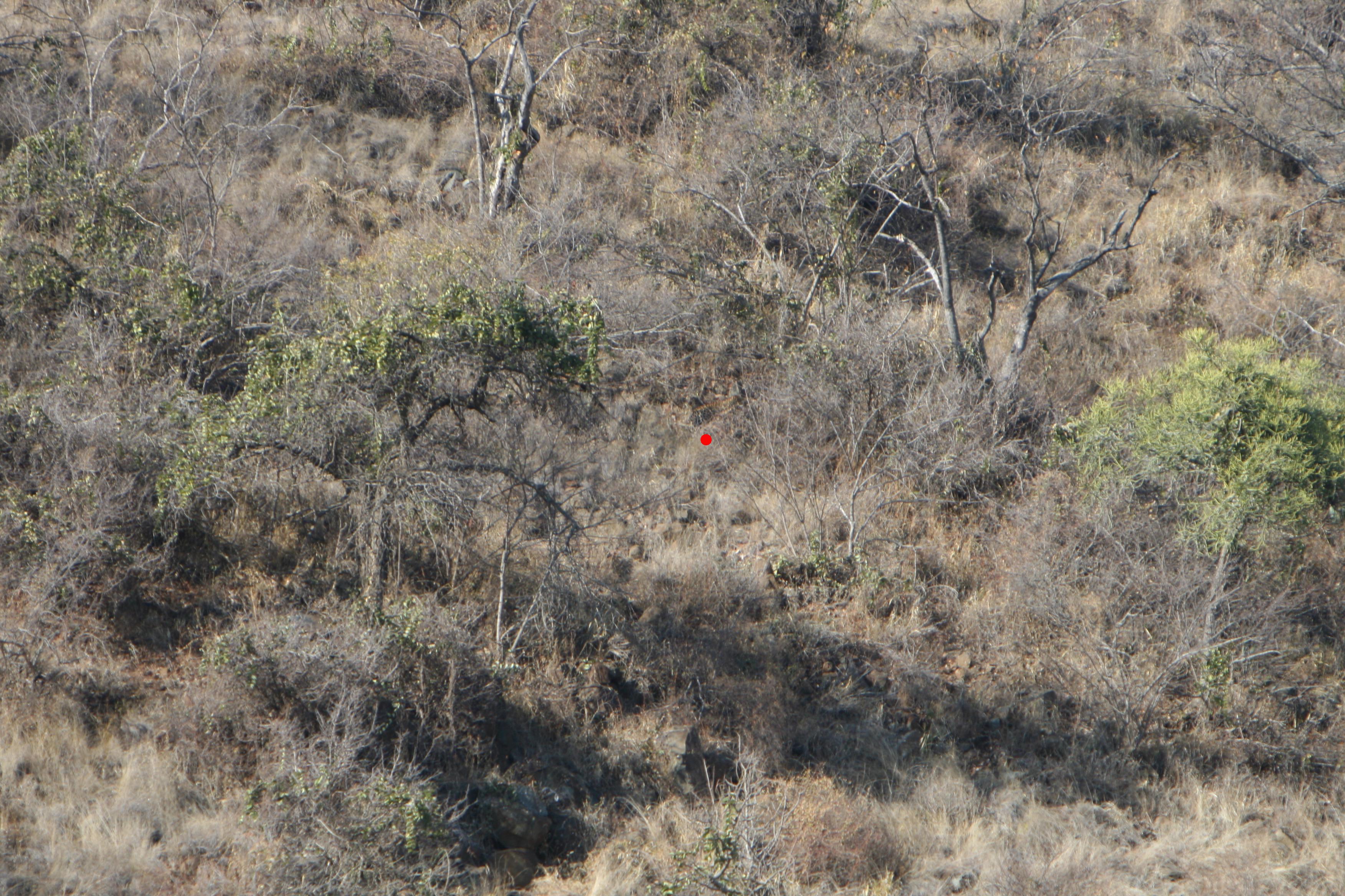 leopard in bush test marked.jpg