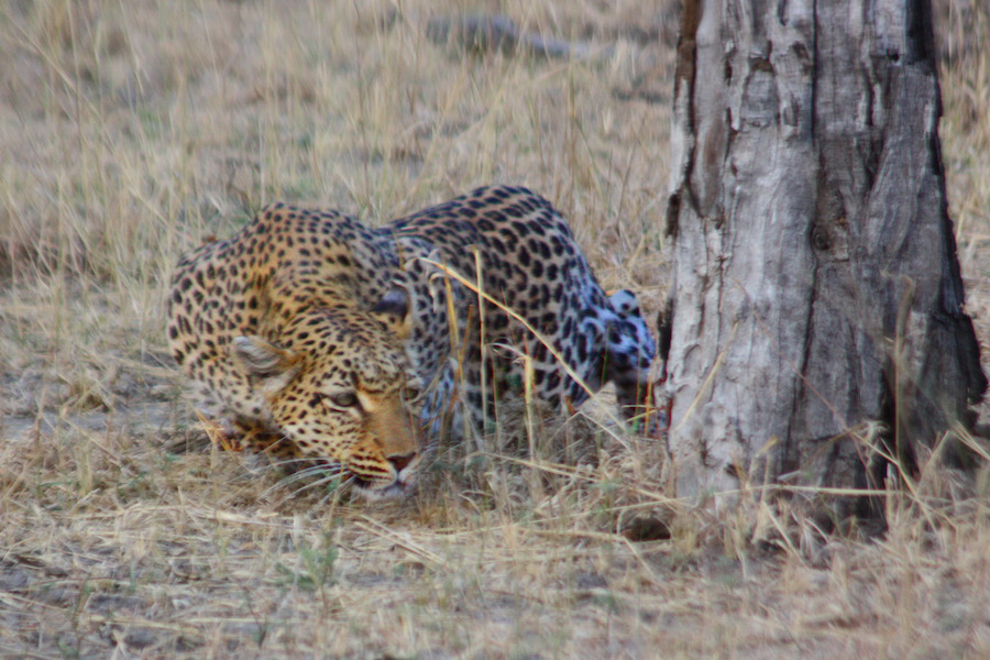 Leopard-Namibia copy.jpg
