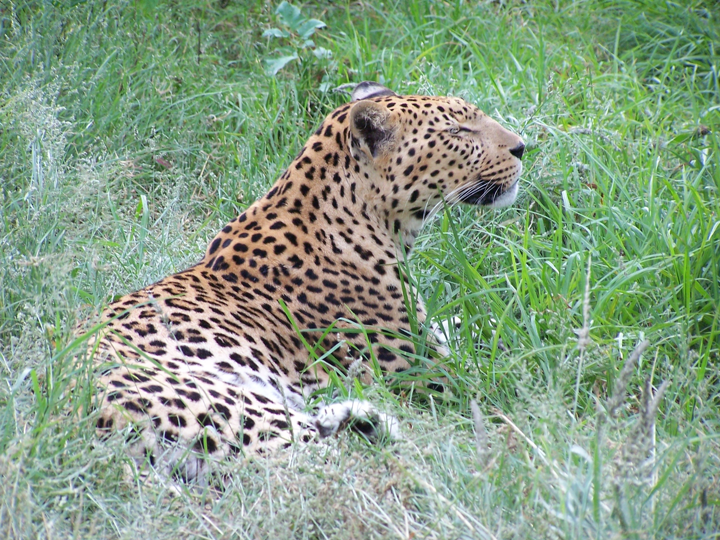 leopard Namibia.JPG