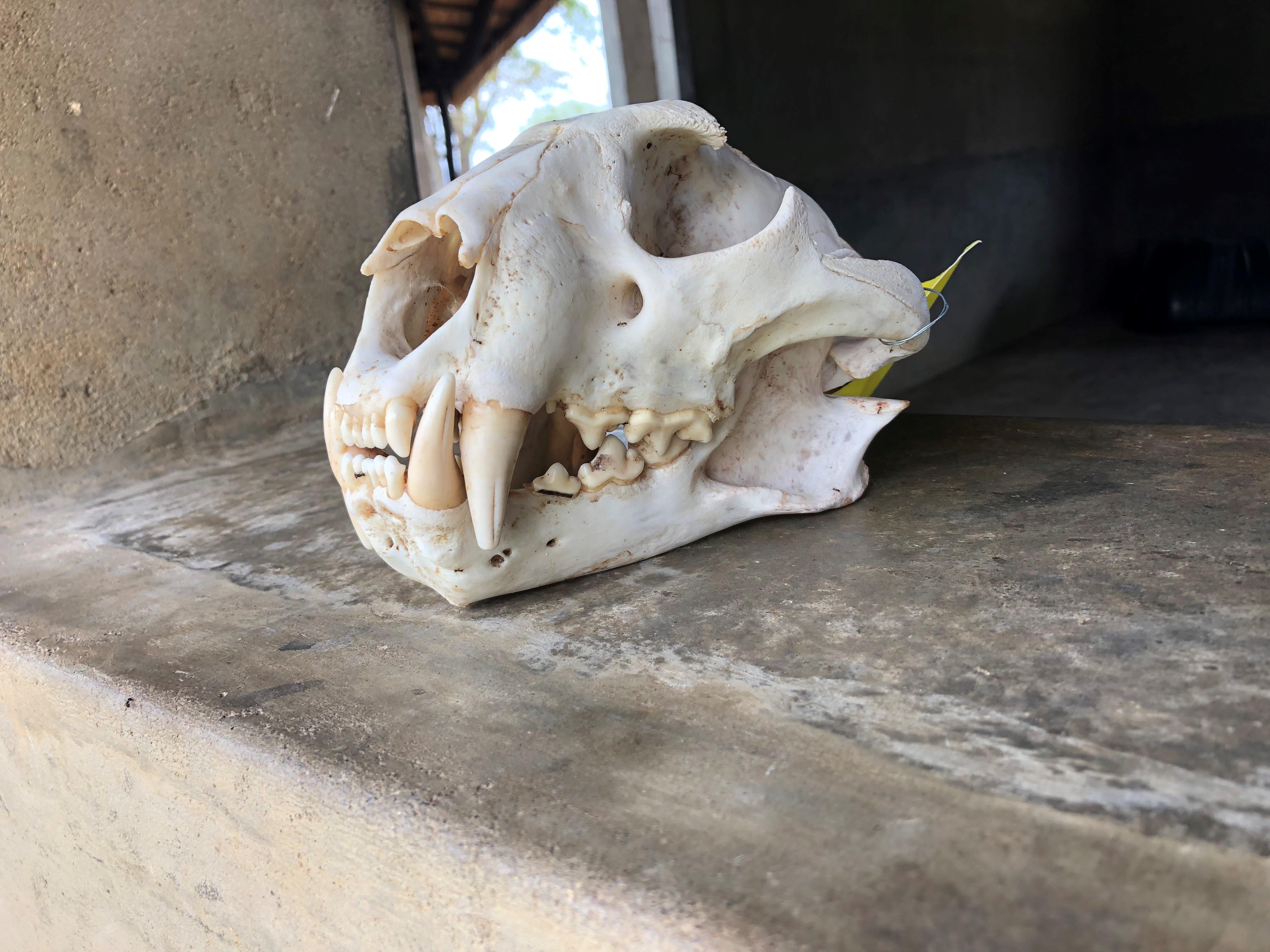 Leopard Skull.jpg